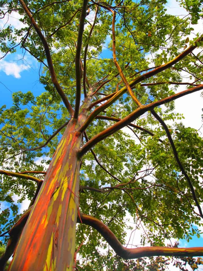 Ultimate Guide on Where to Find rare Rainbow Eucalyptus trees in all ...